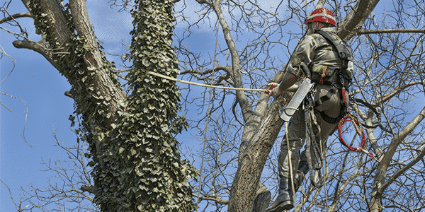 Tree lopper v Arborist which one is cheaper, and which one is better for your property