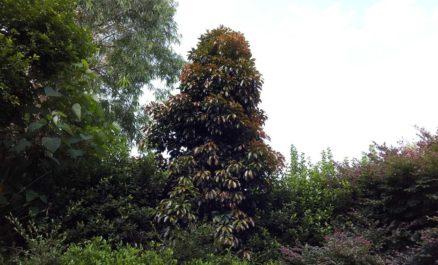 Elaeocarpus Eumundi Tree