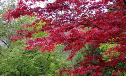 Japanese Maple True