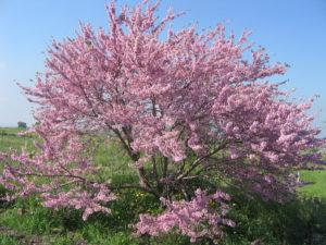 Redbuds Tree