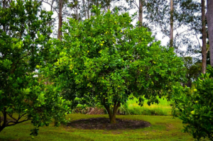 Tahitian Lime Tree