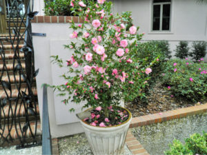 Trees For Pots Camellias