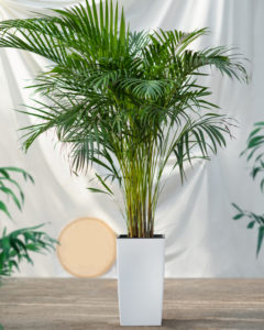 Trees For Pots Cane Palm