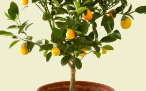 Trees For Pots Citrus
