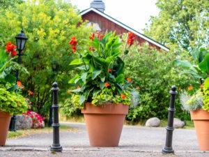 Trees For Pots Germanium