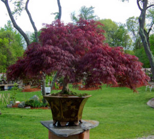 Trees For Pots Japanese Maples