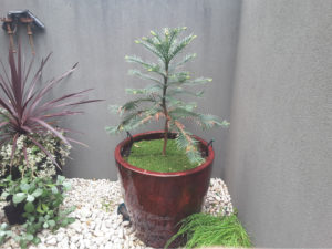 Trees For Pots Wollemi Pine