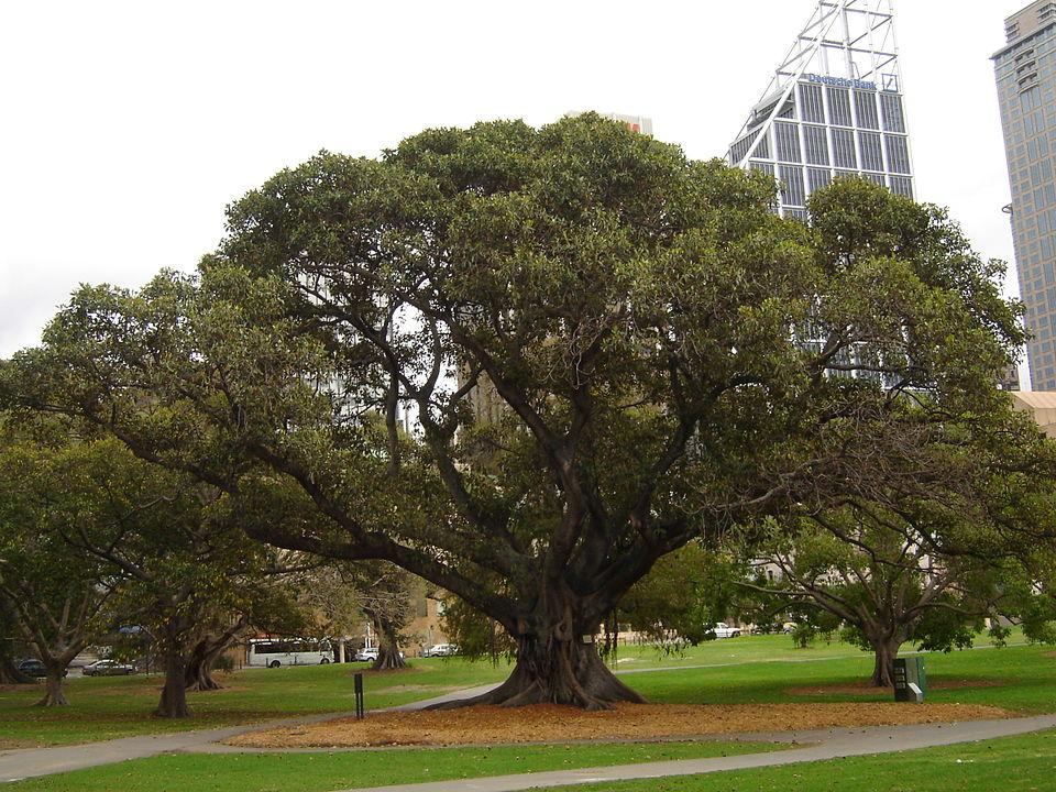Evergreen Figs