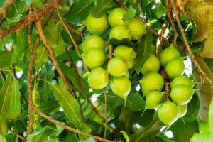 Nut Tree